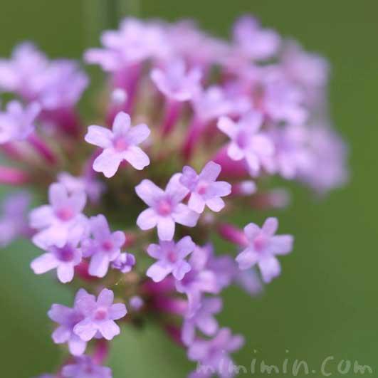 柳花笠の花の写真・花言葉の画像