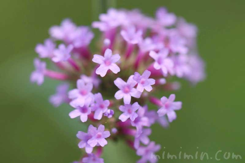 柳花笠の花の写真と花言葉
