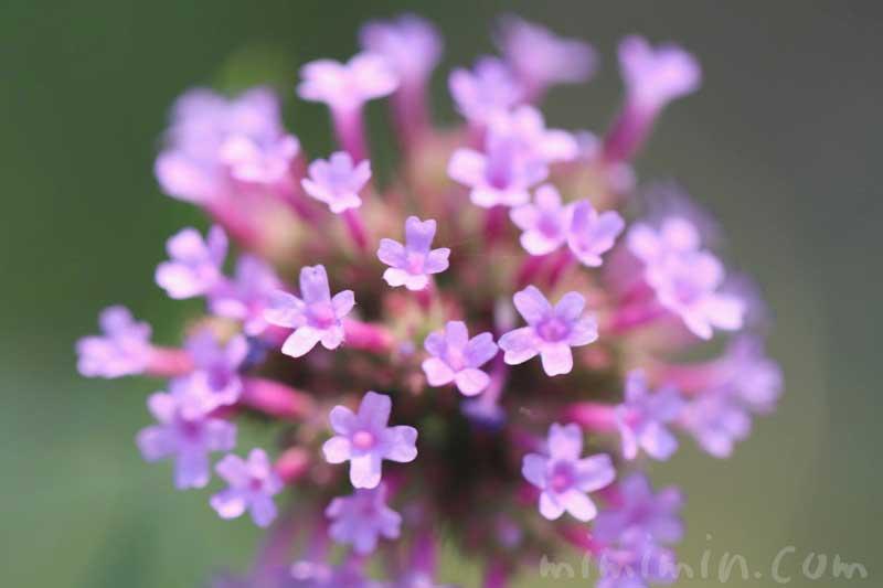 ヤナギハナガサの花の写真と花言葉