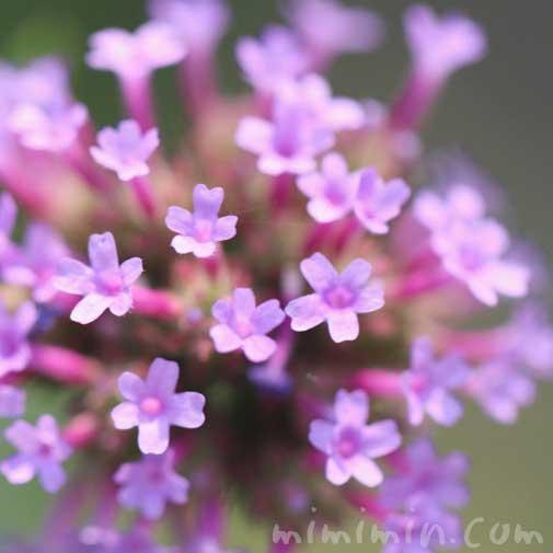 柳花笠の写真 花言葉