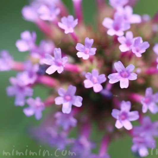 柳花笠の写真・花言葉の画像