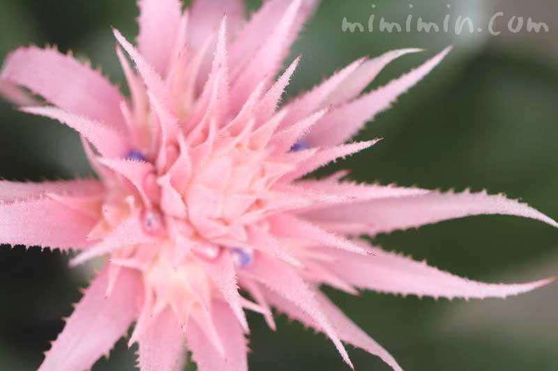 エクメアの花の写真