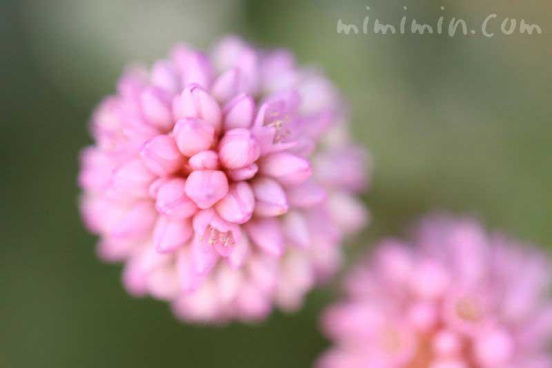 ポリゴナムの花