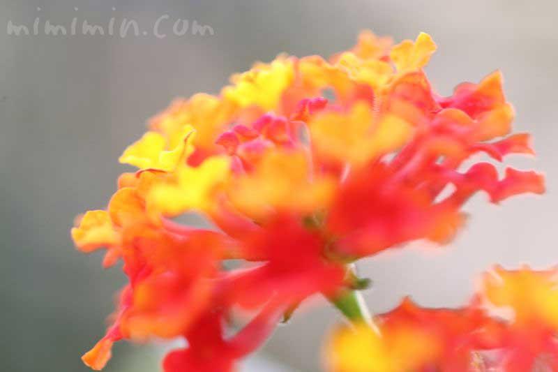 ランタナの花の写真・花言葉の画像