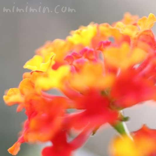七変化の花の写真・花言葉