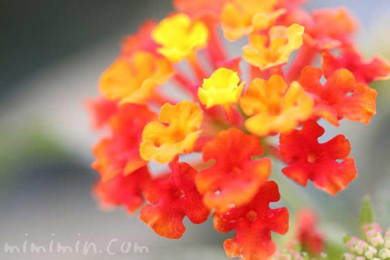 ランタナのオレンジ色の花の写真・花言葉の画像