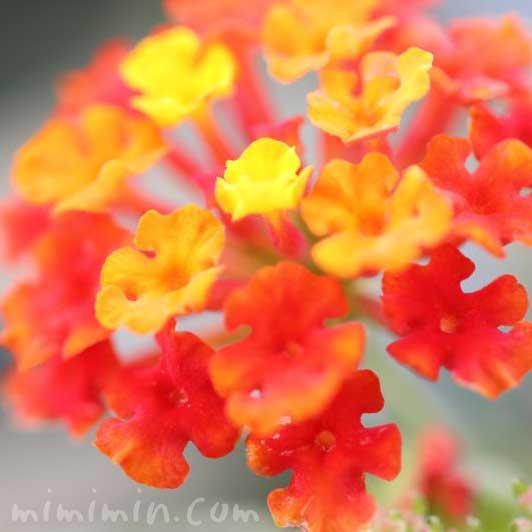 七変化の花の写真・花言葉の画像