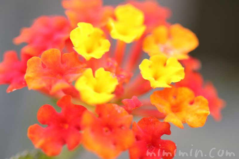 シチヘンゲの花の写真・花言葉