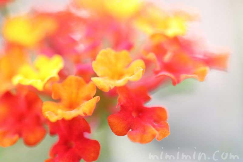 シチヘンゲの花の写真・花言葉の画像