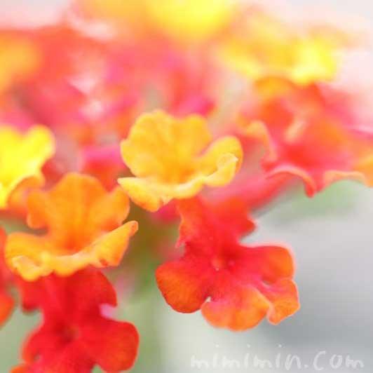 ランタナの花の写真・花言葉