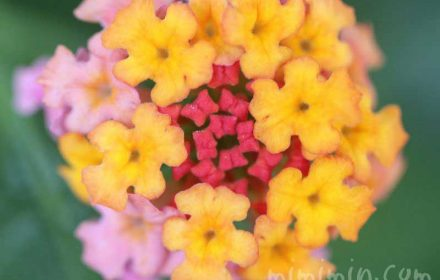 ランタナの花の写真(ピンク×黄色)