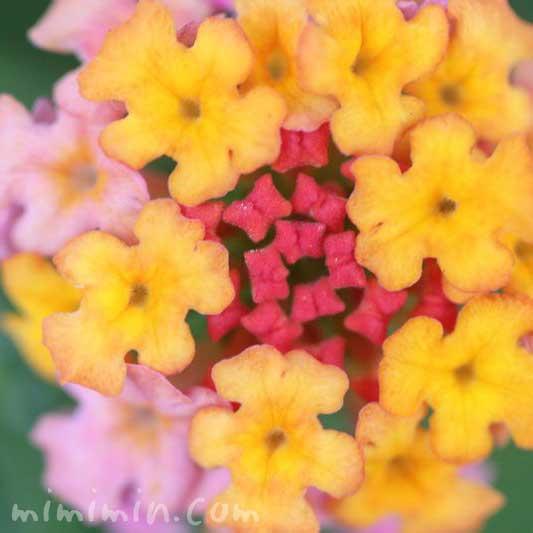 ランタナ(ピンク×黄色)の画像