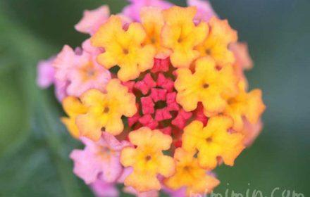ランタナの花(ピンク×黄色)