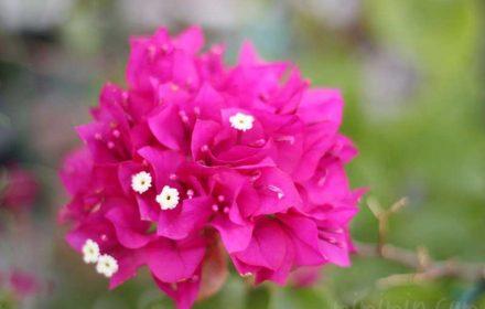 ブーゲンビリア(ピンク色)の画像