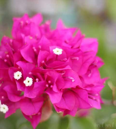 ブーゲンビリアの写真・花言葉|ピンク色のブーゲンビリア