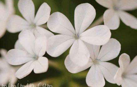ルリマツリ(花言葉・誕生花)の画像
