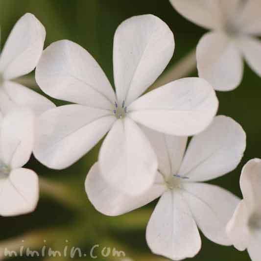 白いルリマツリの花(花言葉・誕生花)の画像