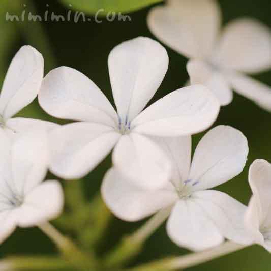白いルリマツリの花(花言葉・誕生花)