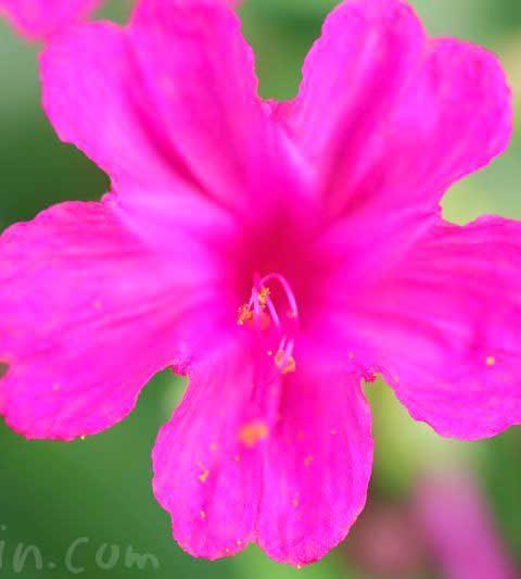 オシロイバナの花言葉・名前の由来・花の写真