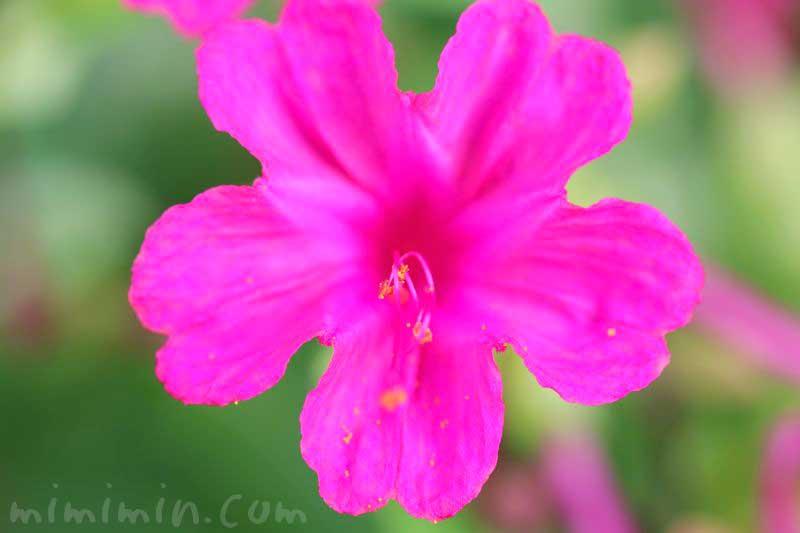 オシロイバナ(濃いピンク)の花の写真と花言葉