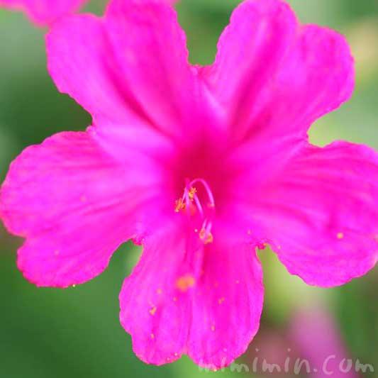 オシロイバナ(濃いピンク)の写真 花言葉