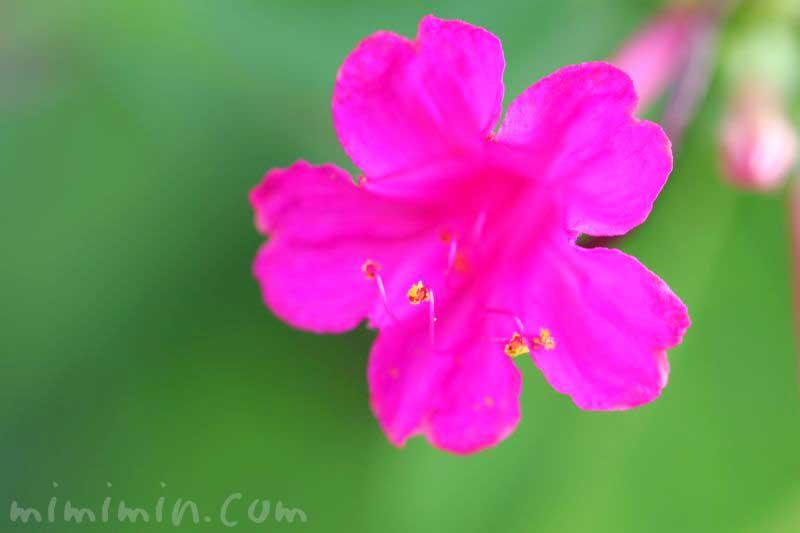 オシロイバナ(濃いピンク)の花の写真・花言葉の画像
