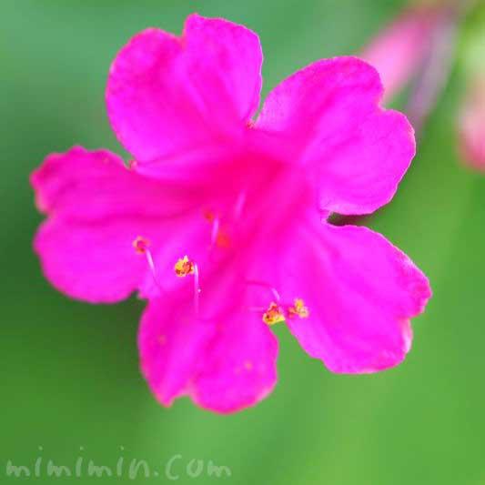オシロイバナ(濃いピンク)の写真と花言葉の画像