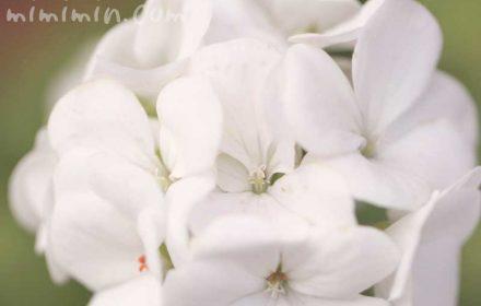 白いゼラニウムの花の写真&花言葉の画像