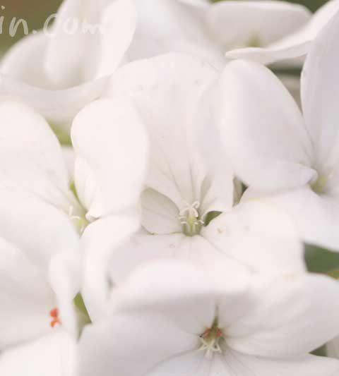 ゼラニウムの花の写真&花言葉