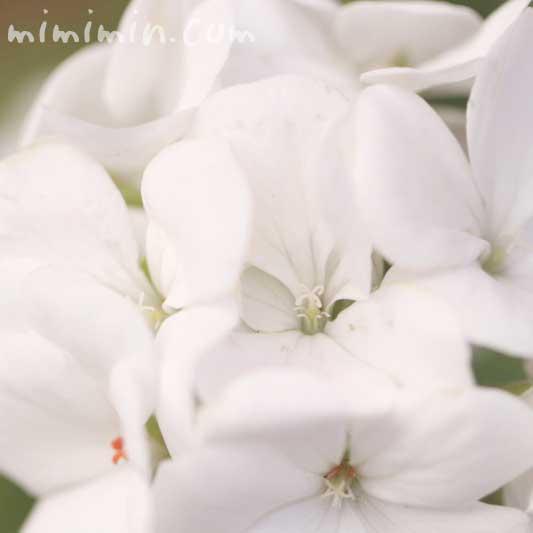 白いゼラニウムの写真&花言葉の画像