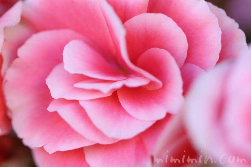 八重咲きゼラニウムの花の画像