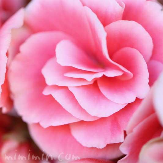 八重咲きゼラニウムの花