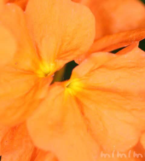 クロサンドラの花の写真・花言葉・名前の由来・誕生花