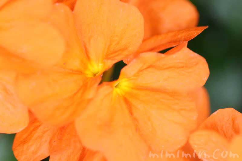 クロサンドラ 花の写真と花言葉