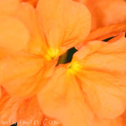 クロサンドラの写真と花言葉