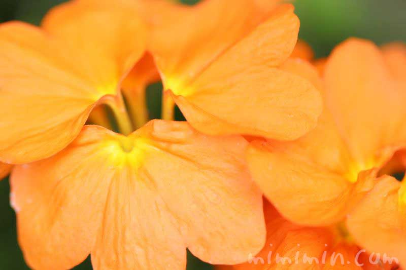 クロサンドラの花の写真と花言葉の画像
