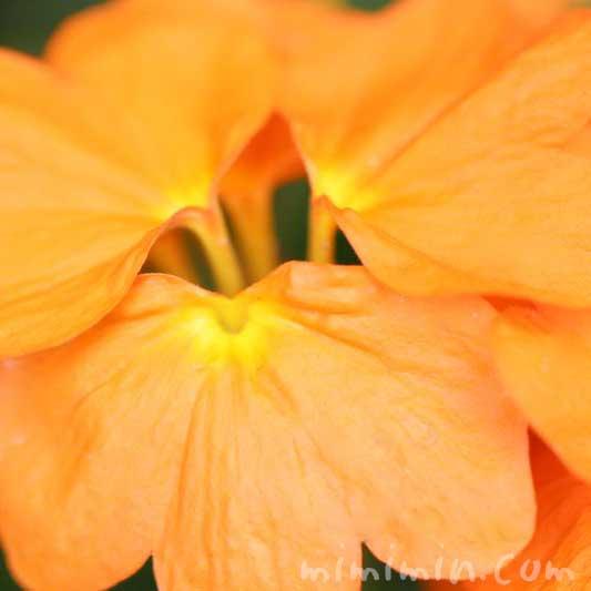 クロサンドラの写真と花言葉の画像