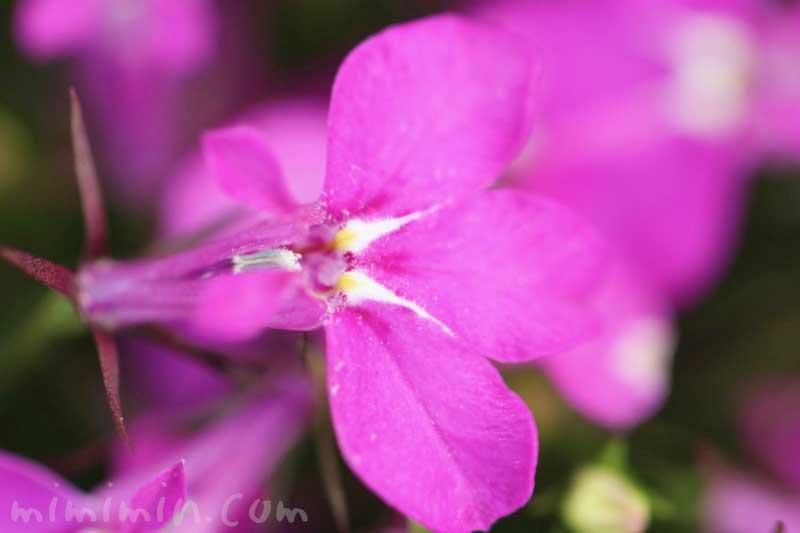 ロベリアの花(ピンク)の画像