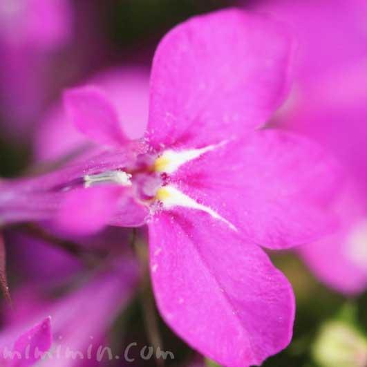 ピンク色のロベリアの花