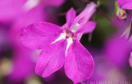 ロベリアの花(赤紫)の写真