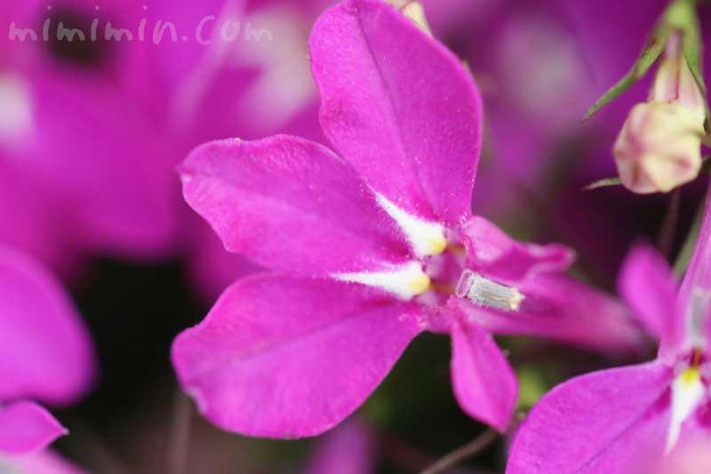 ロベリア(赤紫)の画像