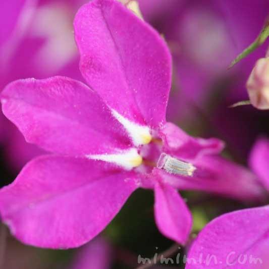 赤紫色のロベリアの花の写真