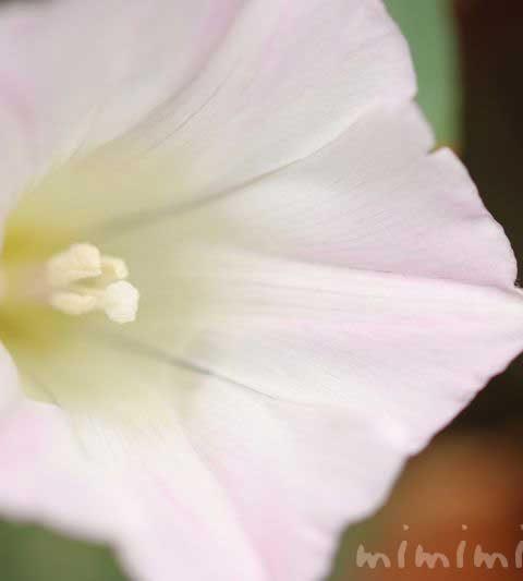 コヒルガオ(小昼顔)の花の写真・花言葉・誕生花