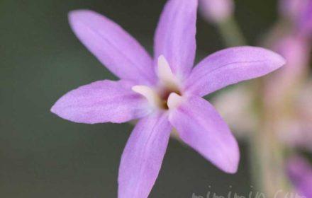 ツルバキアの花の写真と花言葉