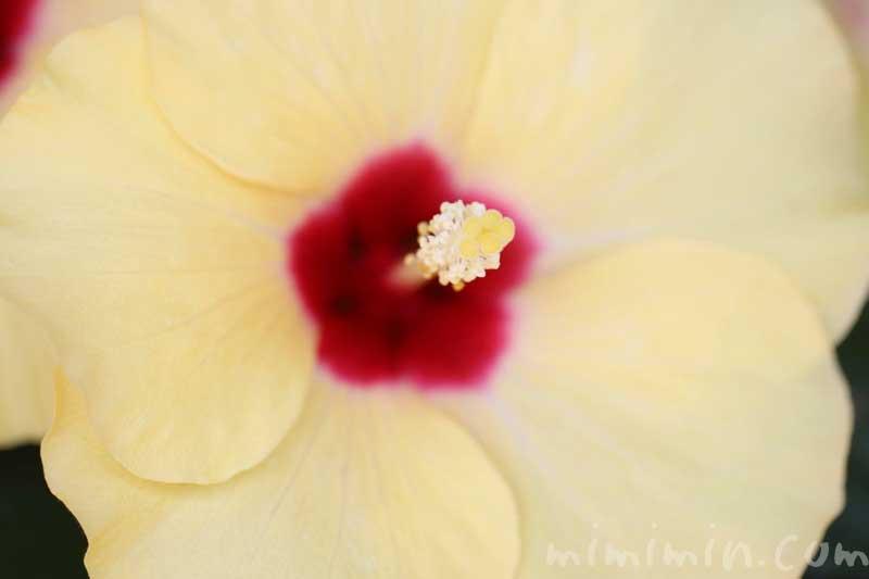 黄色いハイビスカスの写真&花言葉の画像