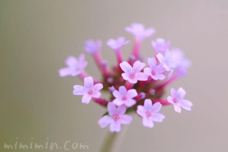 バーベナ・ボナリエンシスの花言葉の画像