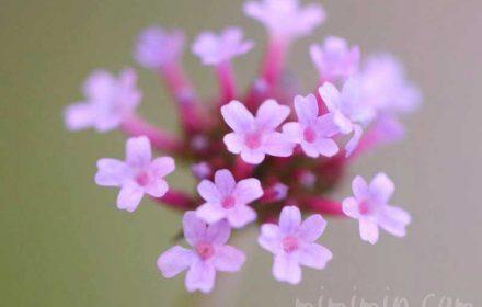 バーベナ・ボナリエンシスの花言葉