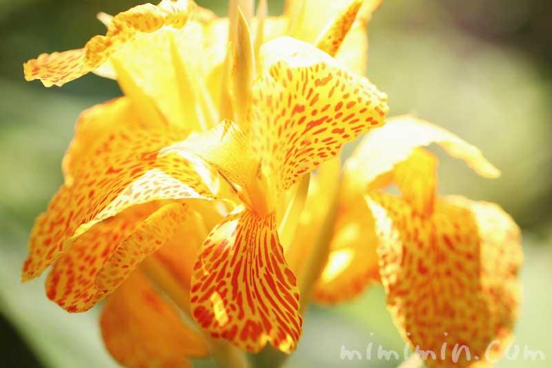カンナ(黄色×赤)の写真と花言葉の画像