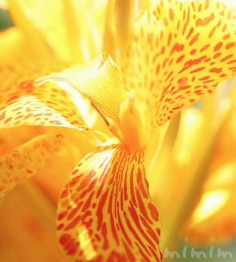 カンナの花言葉(色別)・名前の由来・誕生花