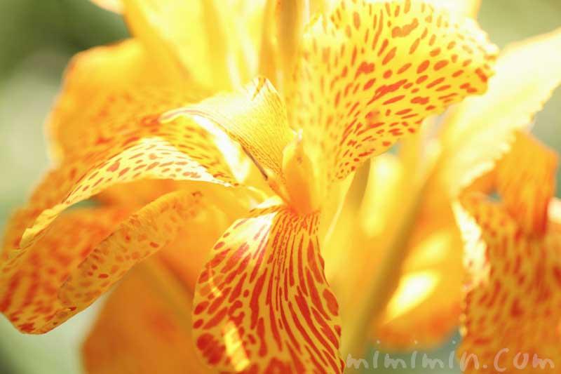 カンナの写真と花言葉の画像